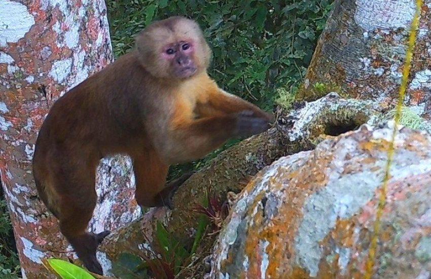 Ecuadorian White-Fronted Capuchin.