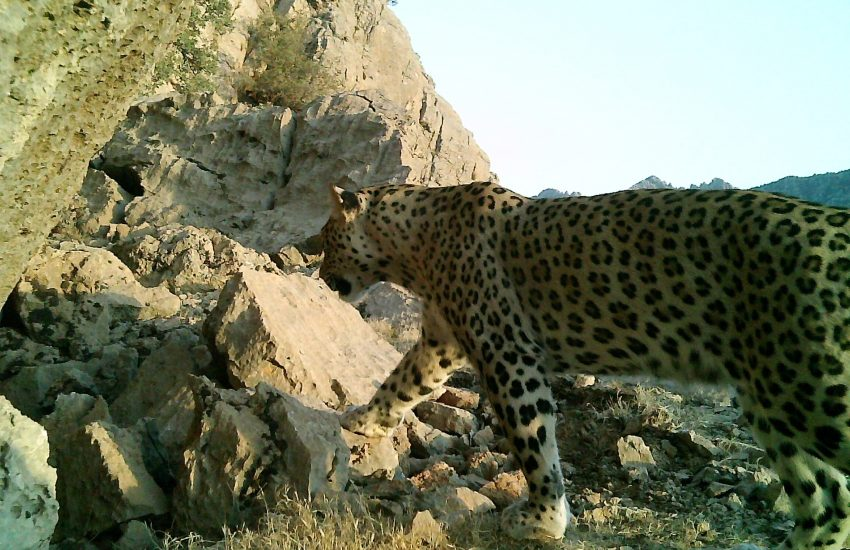 Perzische luipaard in het wild