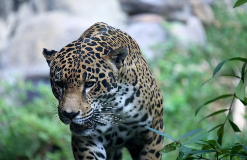 Jaguar c) Cuatrok77