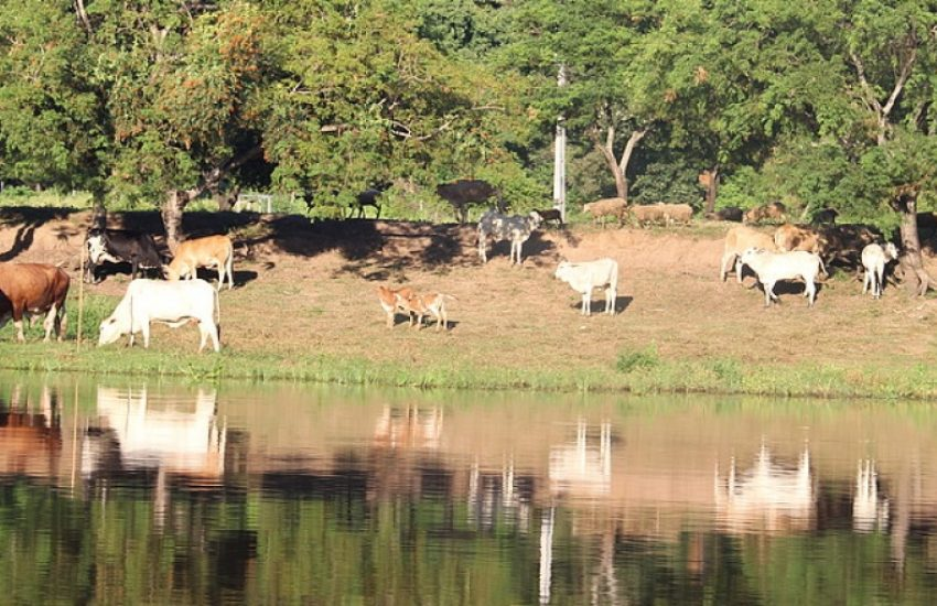 Cattle in Paraguay (c) WWF Paraguay