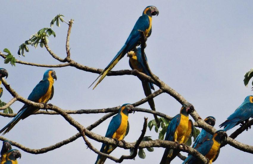 groep blauwkeelara's in boom