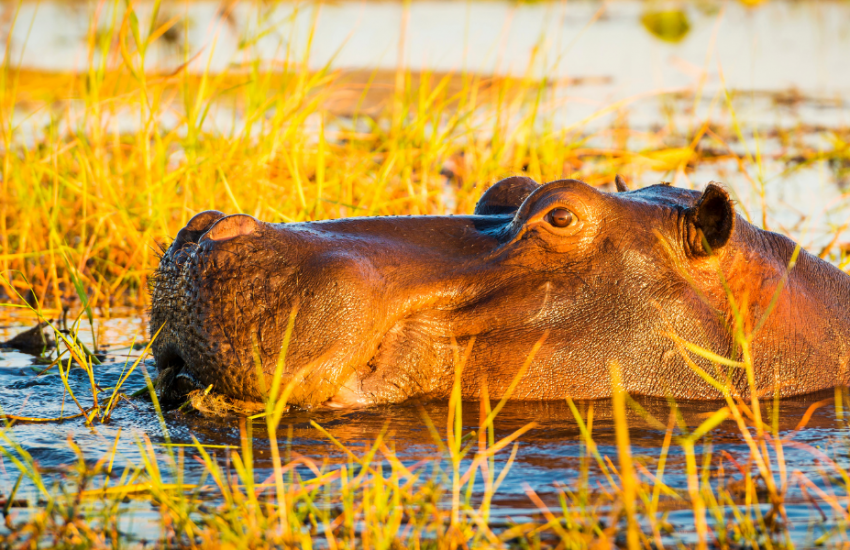 Kopzwemmende nijlpaard komt boven water uit