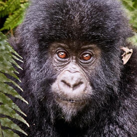 Gorilla in Virunga National Park - Photo by Luc Huyghebaert on Unsplash