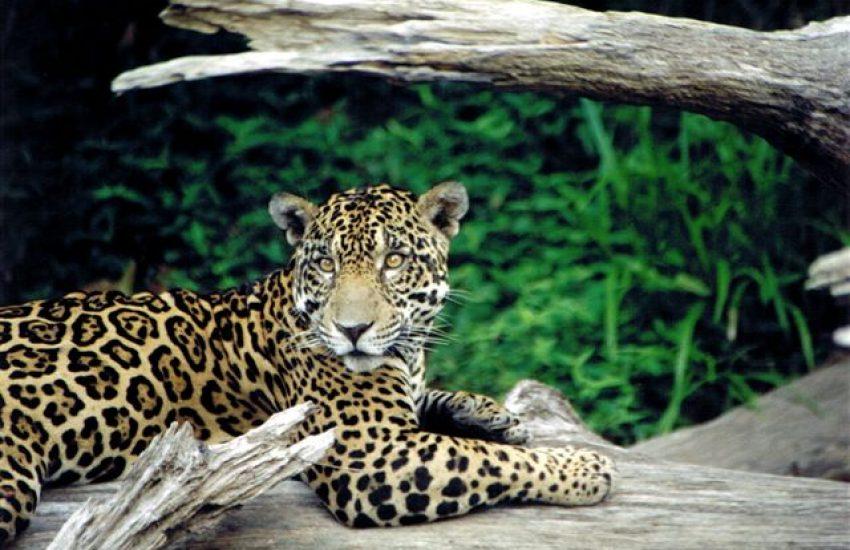 Jaguar on tree trunk (c) pexels