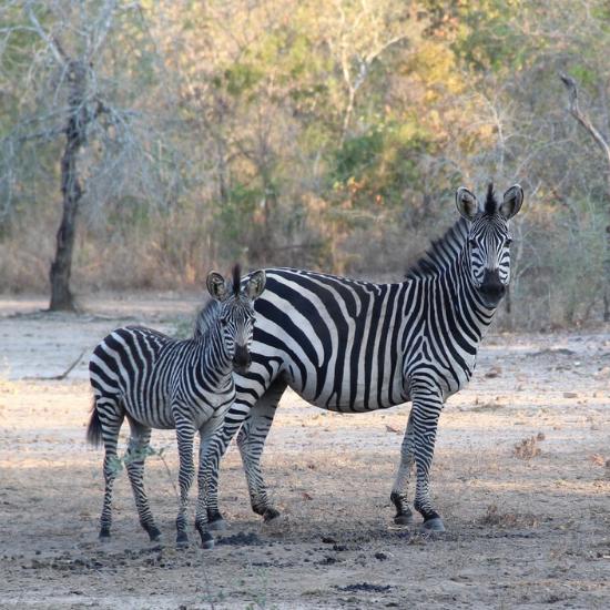 Zebra's - Photo by Bruna A. L. Afonso on Unsplash