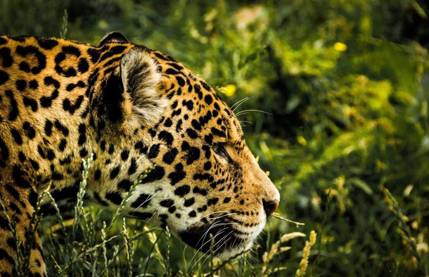 Jaguar hunting in grass (c) pexels
