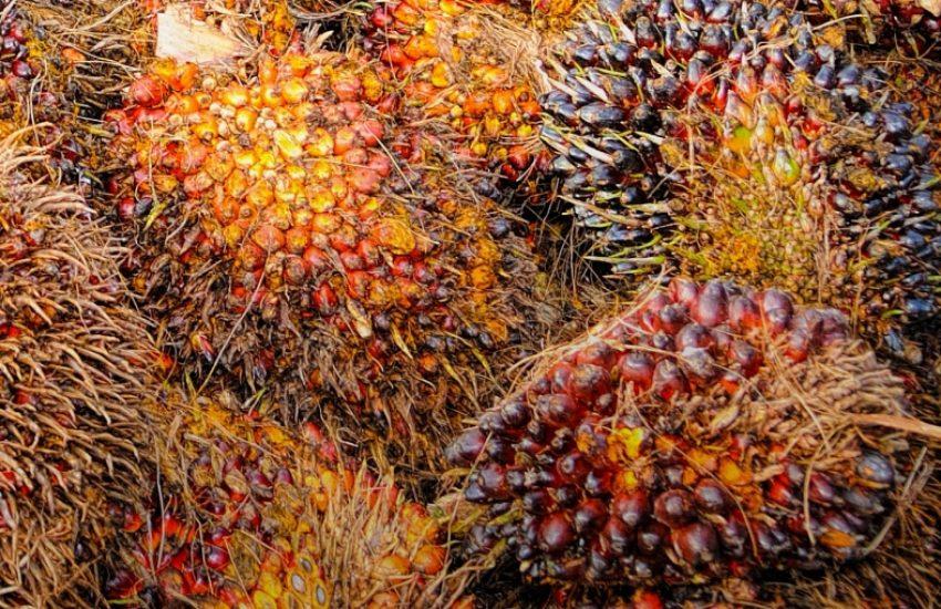 oil palm fruits (c) CC0
