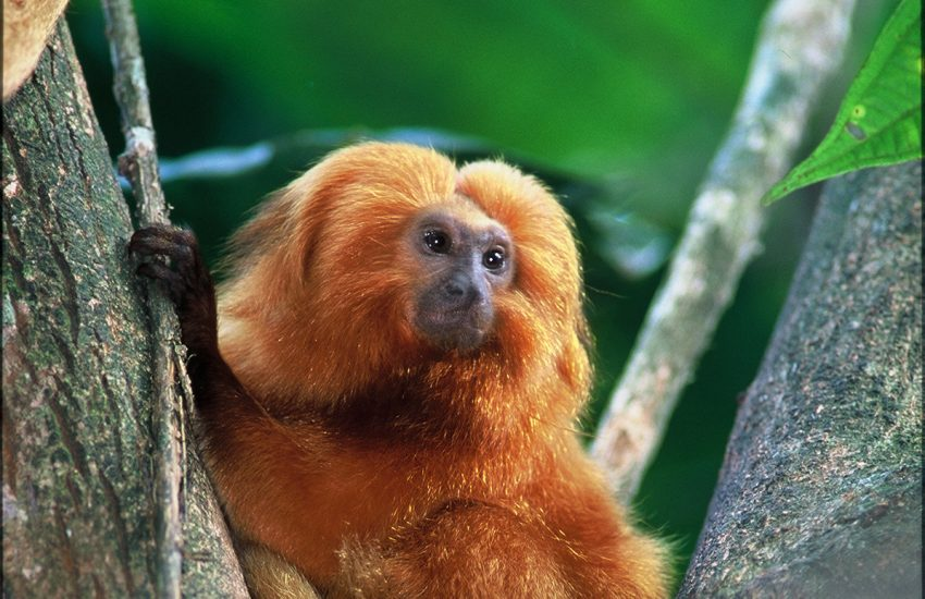 Golden lion Tamarin in tree. Photo by Luciano Candisani
