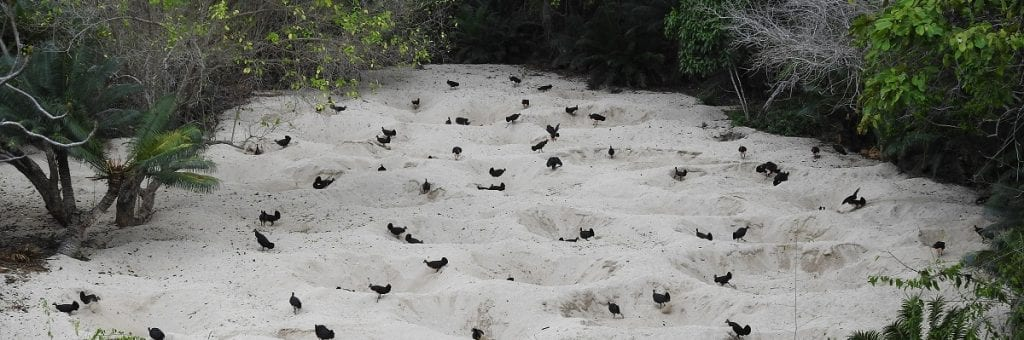 Maleo birds on the beach (c) Adrianus Bawotong-