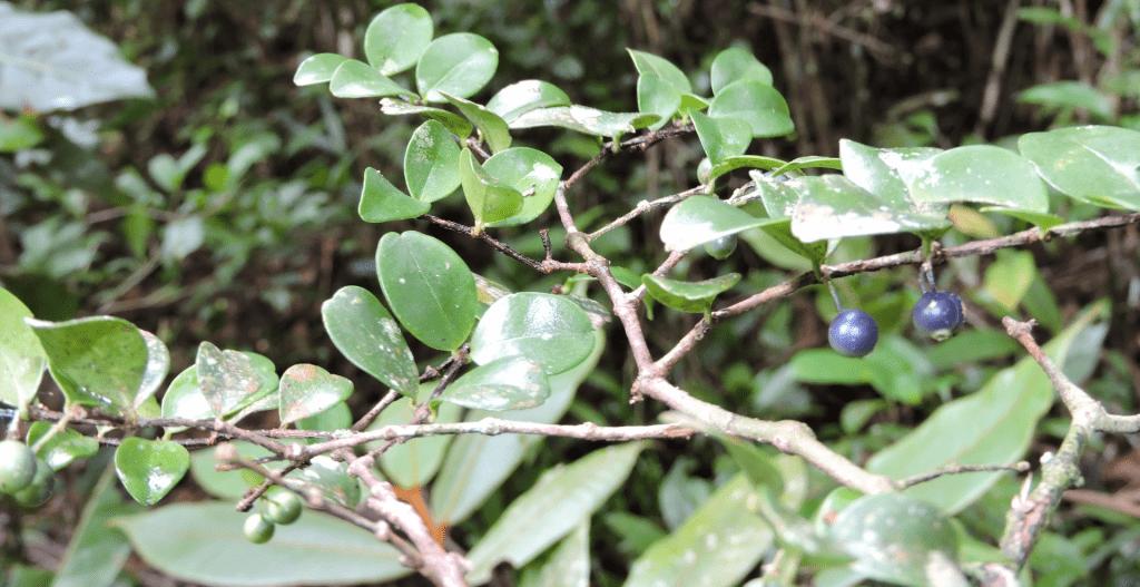 Rare plant species Memecylon Tetrapterum (c) Fidy Ratovoson