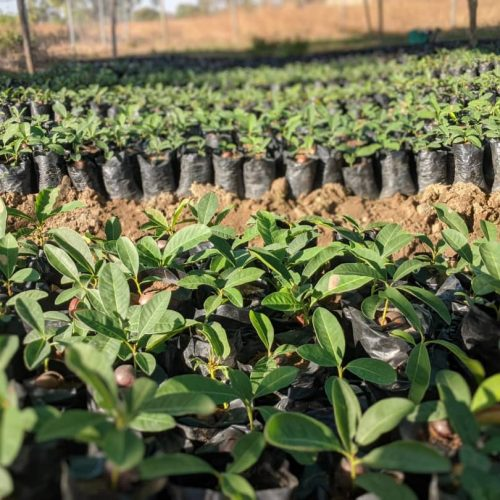 Shea Seedlings at the nursery. Photo by A Rocha Ghana
