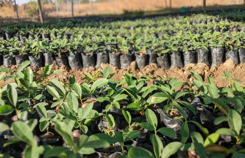 Shea Seedlings at the nursery. Photo by A Rocha Ghana