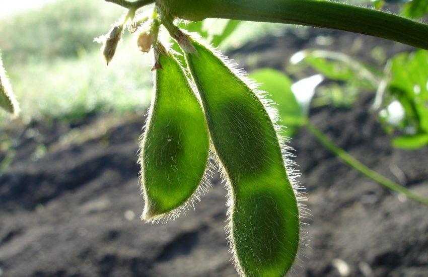 Soy bean plantation