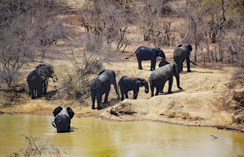 Elephants in Mole National Park (c) Wiki commons