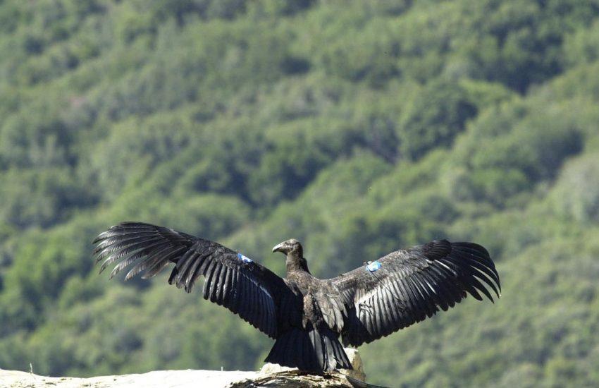Californische condor. Foto credits: Scott Frier - U.S. Fish and Wildlife Service