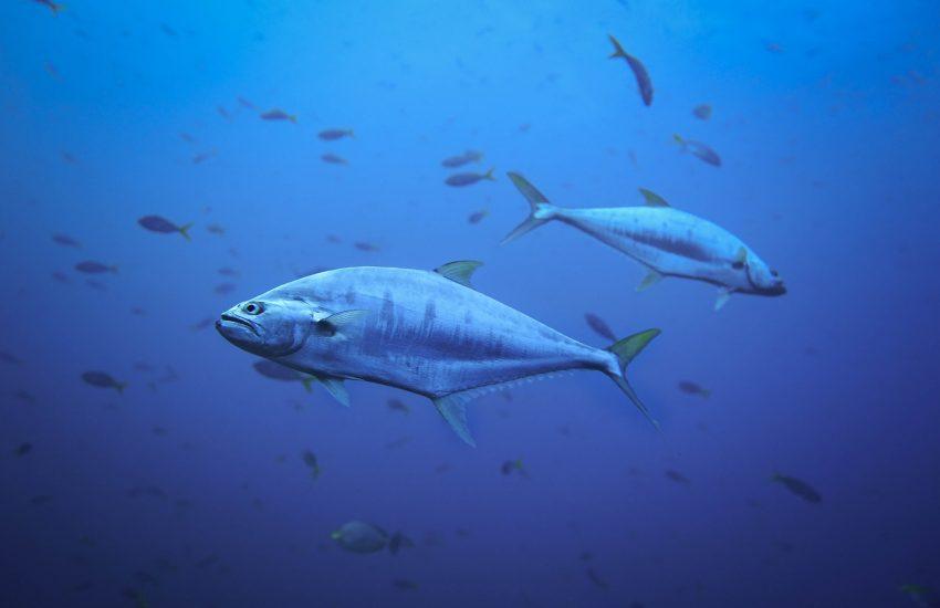 Tuna fish (c) James Thornton-unsplash